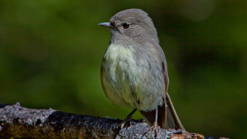 South Island Robin O3944
