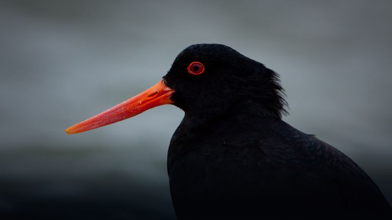 Variable Oyster Catcher O3233
