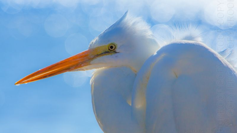 Great Egret W4273