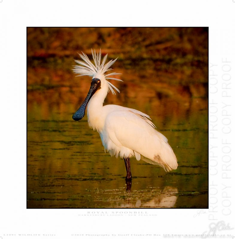 L2019 Royal Spoonbill - Medium Square Matt