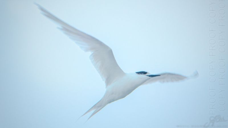 White-fronted tern  X7370