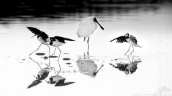 Royal spoonbills V4458