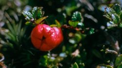Red Snowberry AV97-231