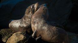 Fur Seals I3006