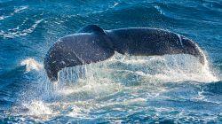 Humpback Whale W4690