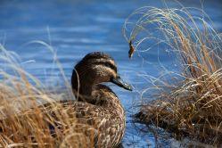 Mallard Duck W7347