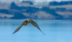 NZ Falcon Q0311v2-