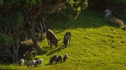 Wild Pigs O2525