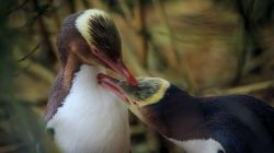 Yellow-eyed Penguin  L2600