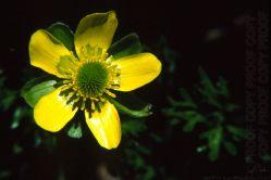 Ranunculus enysii AV56