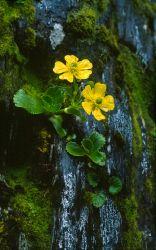 Ranunculus insignis AV57