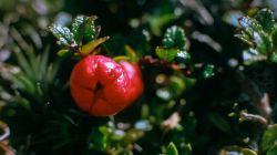 Red Snowberry AV97-231