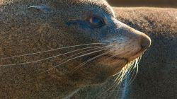 Fur Seal I3034