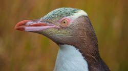 Yellow-eyed Penguin  L2687